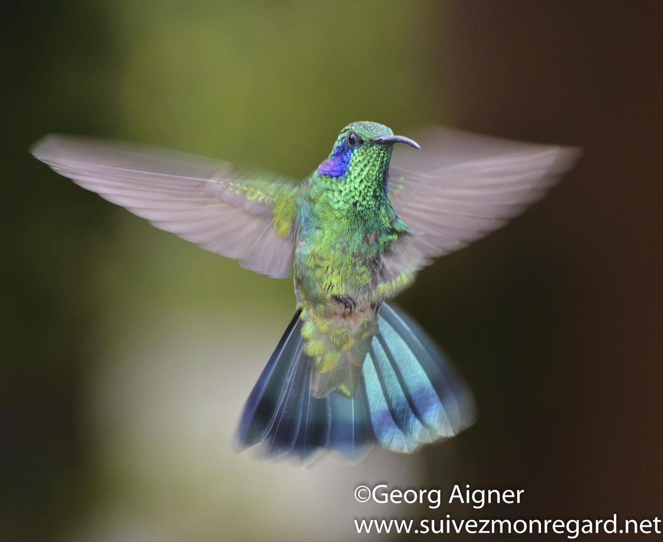 Colibris – hummingbirds