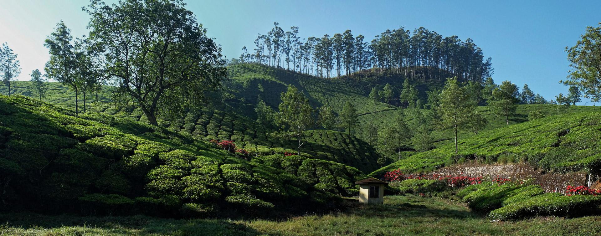 Au coeur de pays du thé
