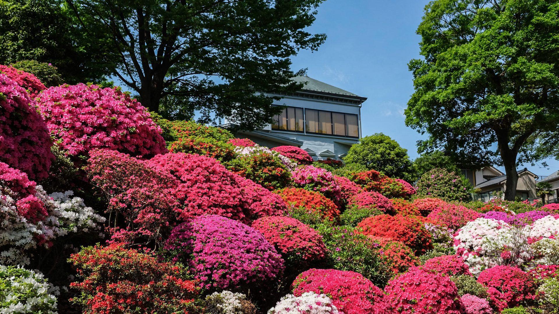 Jardin des azalées à Nezu-jinja (Tokyo)